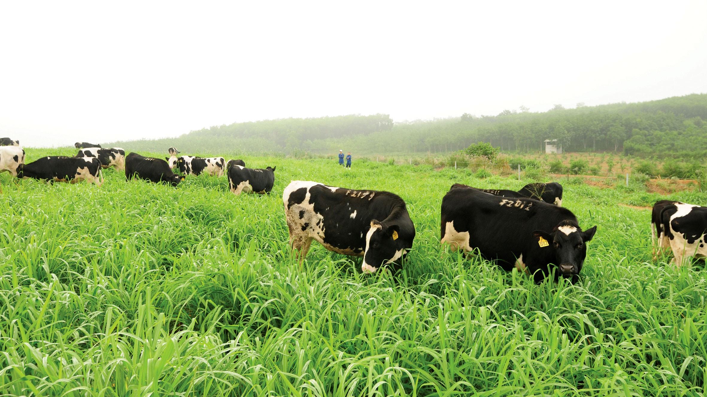 Đàn bò hữu cơ được chăn thả theo phương pháp rất đặc biệt