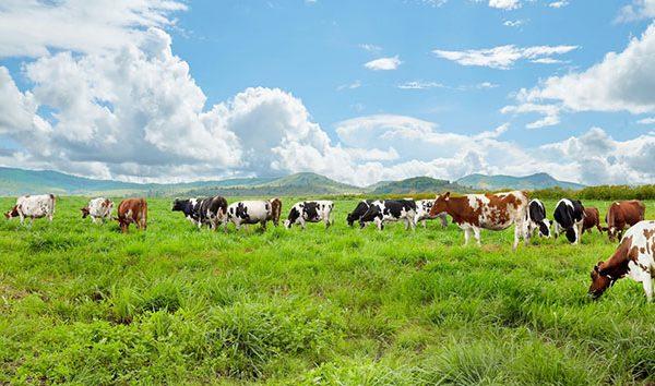 Đồng cỏ xanh quanh năm tại Úc tạo nên những ly sữa ngon lành